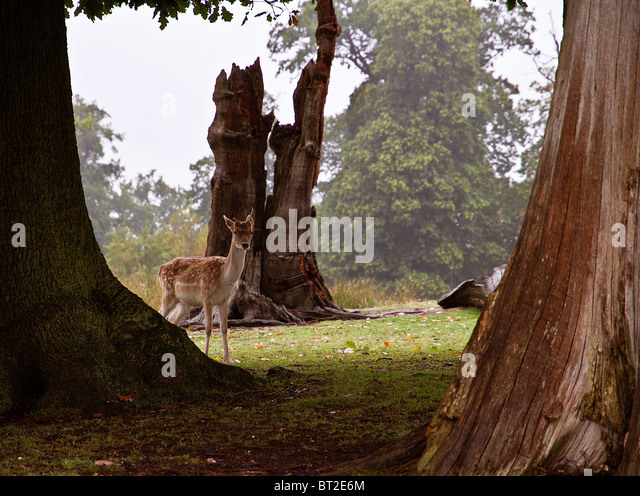 A timid Fallow Deer peers through a group of trees - Stock Image