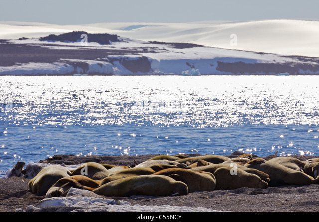 Herd of walrus (Odobenus rosmarus) basking on the coast, Svalbard Islands, Norway - Stock Image