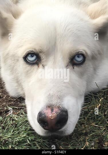 Husky white blue eyes close - Stock Image