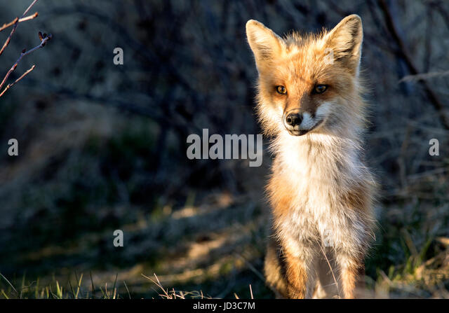 Red fox (Vulpes vulpes) - Crow Head, Twillingate, Newfoundland, Canada - Stock Image