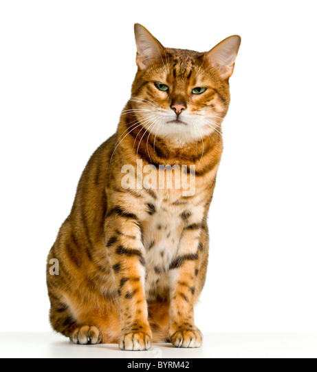 Bengal cat in orange and brown stripes like a tiger looking with angry stare at the viewer with space for advertizing - Stock Image