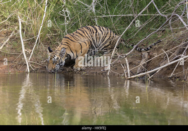 Tiger (Panthera tigris), subadult drinking at lake, Tadoba National Park, Maharashtra, India, April - Stock-Bilder