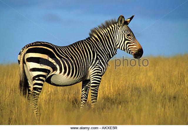 Cape Mountain Zebra, Equus zebra zebra, Mt. Zebra NP, South Africa - Stock Image