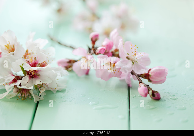 close up of almond blossom on a table, shallow dof - Stock Image