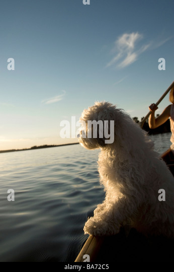 Lake Of The Woods, Ontario, Canada; White dog standing in row boat on lake - Stock Image