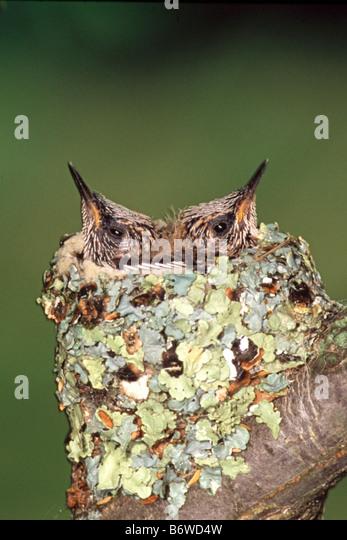 Baby Ruby Throated Hummingbirds in Nest Vertical - Stock-Bilder