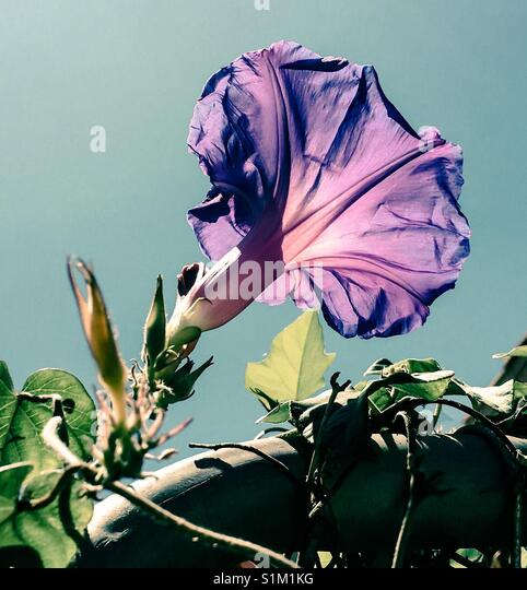 Purple morning glory flower bathed in sunlight from below - Stock Image