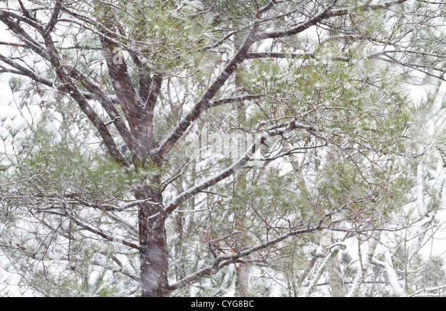Loblolly Pine Trees Stock Photos Loblolly Pine Trees
