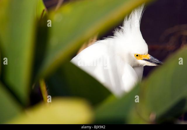 Snowy Egret - Green Cay Wetlands - Delray Beach, Florida USA - Stock Image