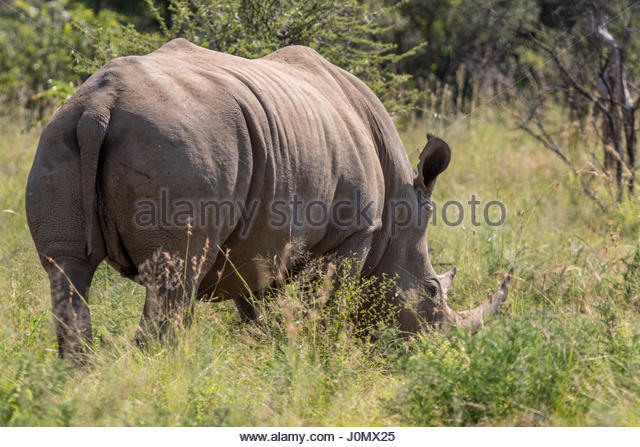 A White Rhinoceros grazing in the Pilanesberg National Park, South Africa. - Stock Image