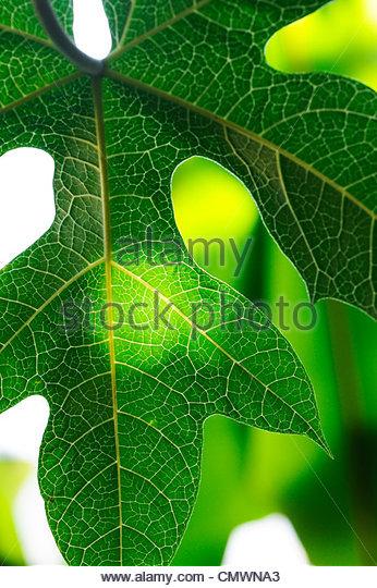 Carica papaya tree leaf - Stock Image