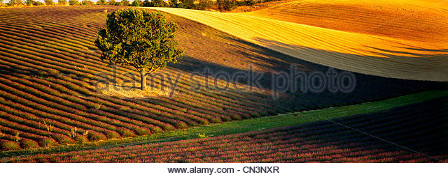 Lavender fields, Sault, Provence, France - Stock Image