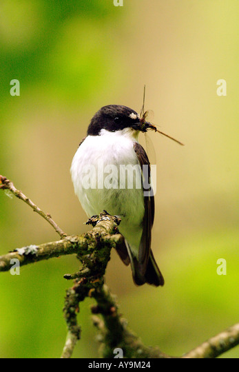 Pied Flycatcher with Damselfly Prey - Stock Image