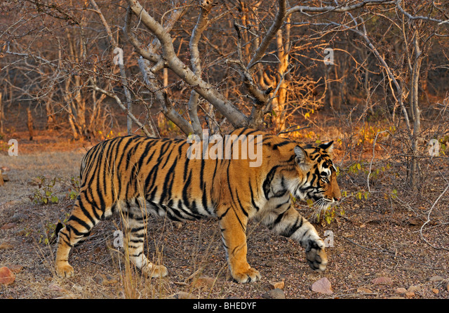 Tiger in the dry deciduous habitat of Ranthanbhore tiger reserve - Stock Image