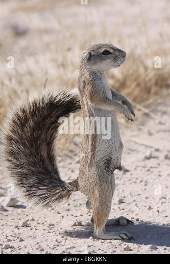 Portrait of a mongoose standing upright, Namibia - Stock Image