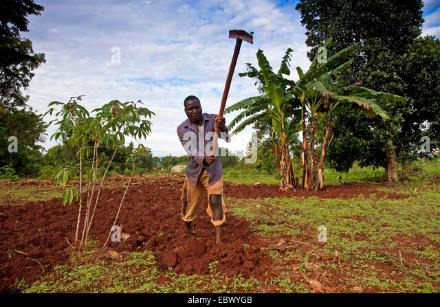 farmer is working on his fertile field with a hatchet, coffee plant in the left hand foreground, banana plant in - Stock Image
