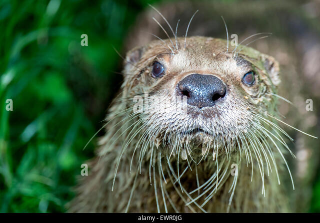 Otter in the New Forest Wildlife Park Hampshire United Kingdom - Stock-Bilder