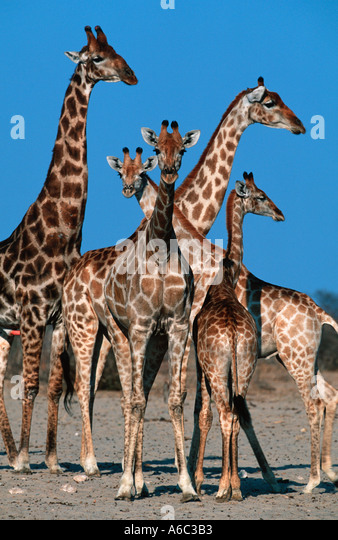 Southern Giraffe Giraffa camelopardalis subspp Adults and young Etosha National Park Namibia Africa south of Equator - Stock Image