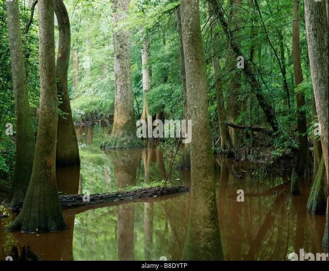 SOUTH CAROLINA - A gut, (small creek), along the Oak Ridge Trail in Congaree National Park. - Stock Image