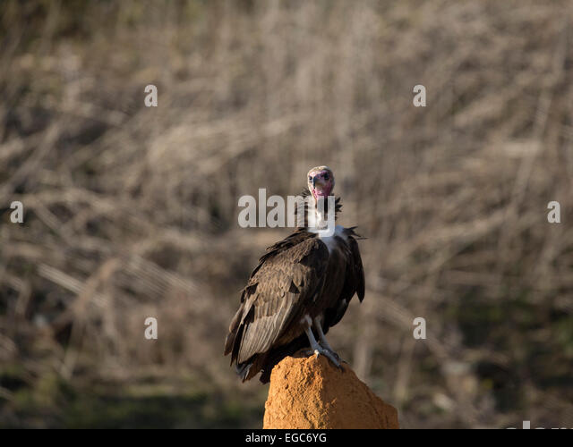 the nubian vulture Over 6,238 vulture pictures to choose from, with  vulture stock photographs by dedmazay 16 / 2,337 vulture perched on an edge stock photography by aliencat 22 / 1,633 vulture one black vector pictures by draganmilenkovic 9 / 1,519 vulture  photography by birchside 1 / 422 vulture stock images by sararoom 2 / 85 vulture.