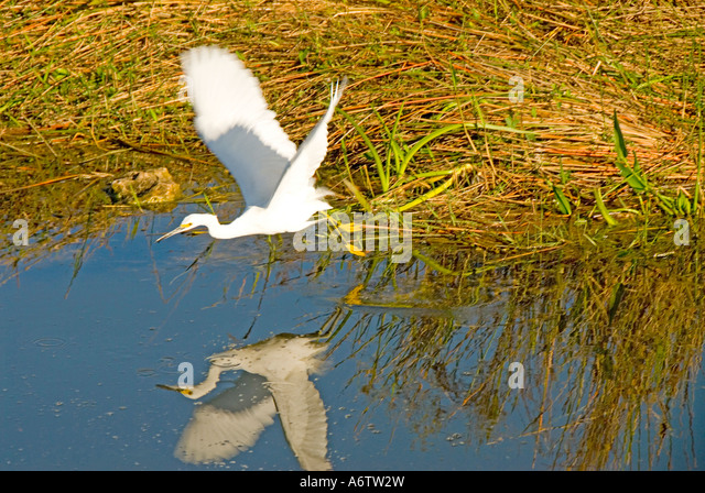 Snowy egret flying over water reflection florida nature birding wildlife everglades national park - Stock Image