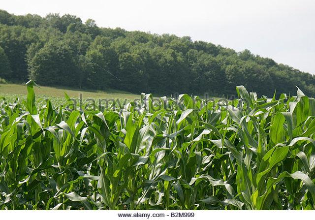 Michigan Traverse City Leelanau Peninsula corn agriculture farm plants field - Stock Image