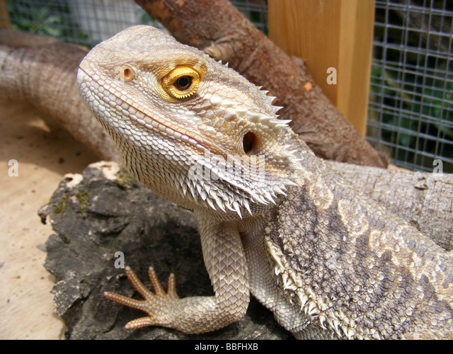 Caged lizard stock photos caged lizard stock images alamy - Bearded dragon yawn ...