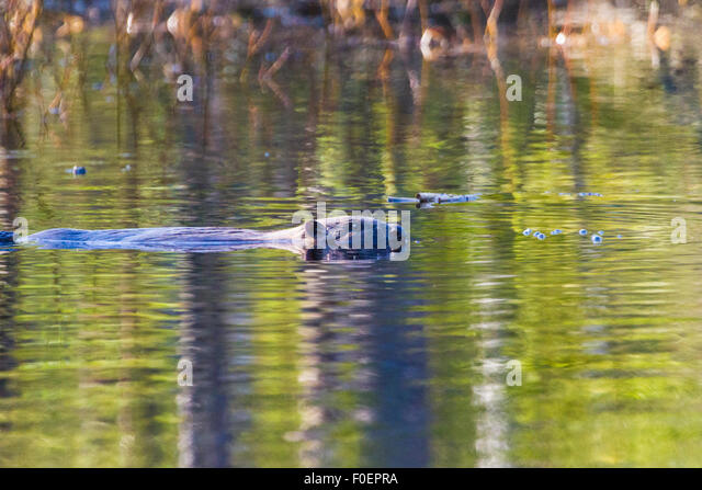 Beaver swimming and seen from the side in profile, in Norrbotten, Sweden - Stock Image