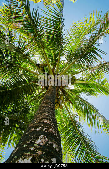 Looking up the trunk of a coconut palm tree.  Tahiti - Stock Image
