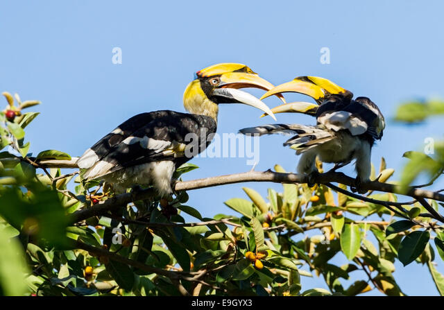 A breeding pair of Great hornbills (Buceros bicornis) courting in tropical rainforest canopy - Stock Image