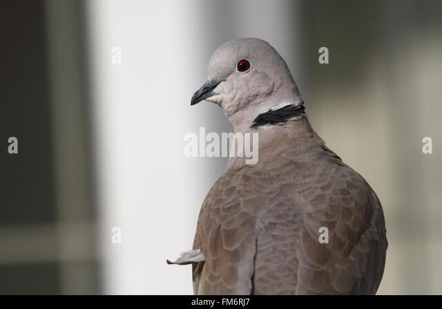 Eurasian Collared Dove (Streptopelia decaocto) - Stock Image