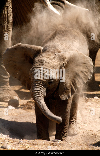 Elephant Baby Flapping Ears taking a dust bath, Africa - Stock Image