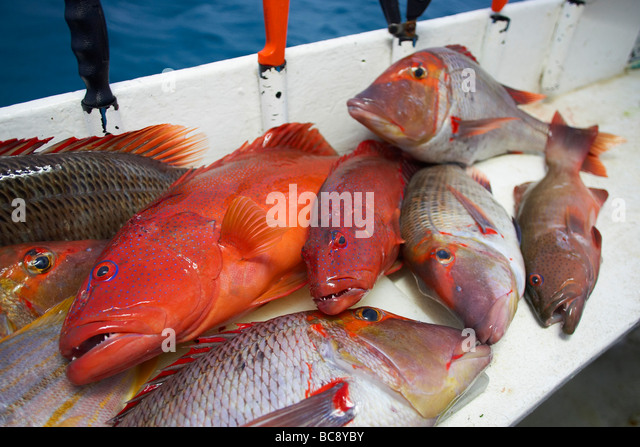 Freshly caught reef fish - Stock Image