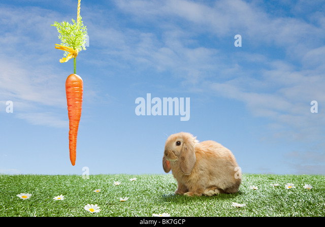 Rabbit with dangling carrot - Stock Image