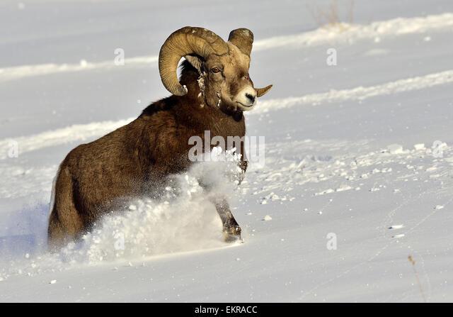 A mature bighorn sheep  'Orvis canadensis'   running through the deep snow - Stock-Bilder