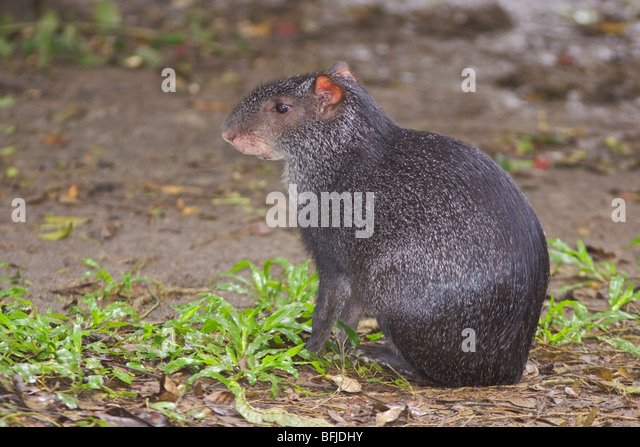 A Black Agouti searching for food on the jungle floor in Amazonian Ecuador. - Stock-Bilder