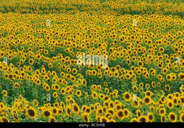 Italy, Tuscany, Sunflower field, full frame - Stock Image