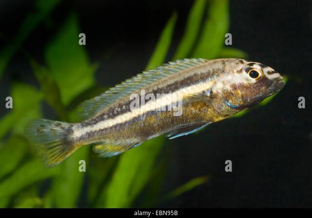 Golden mbuna, Nyassa Golden Cichlid (Melanochromis auratus ...