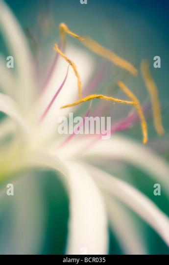 Crinum asiaticum, Spider lily - Stock Image