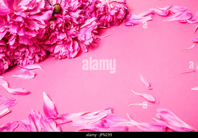 a lot of pink peony petails on paper colorful background - Stock Image
