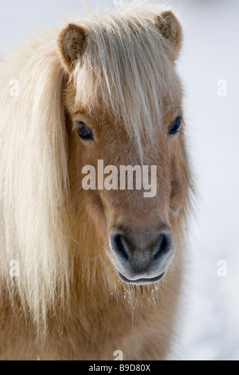 Minature Shetland Pony in snow UK - Stock Image