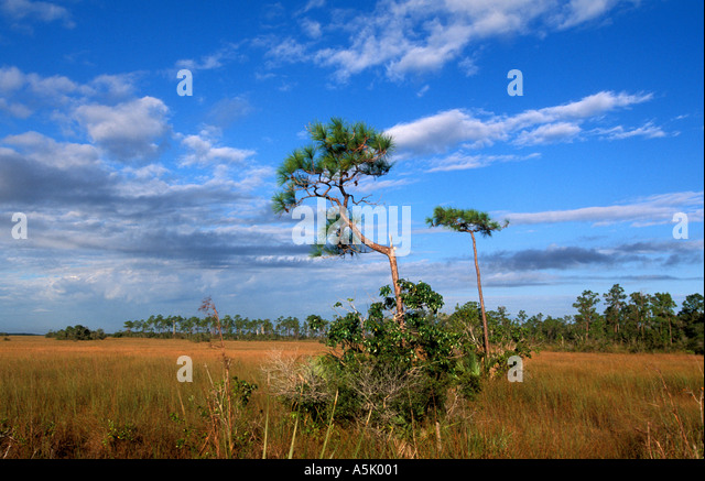 Florida Everglades National Park sawgrass prairie with twisted pine tree in the middle - Stock Image