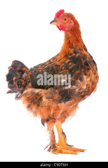 Baby rooster farm bird shot in studio on white - Stock Image