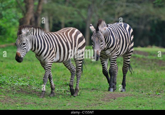 Zebras near Arusha Tanzania - Stock Image