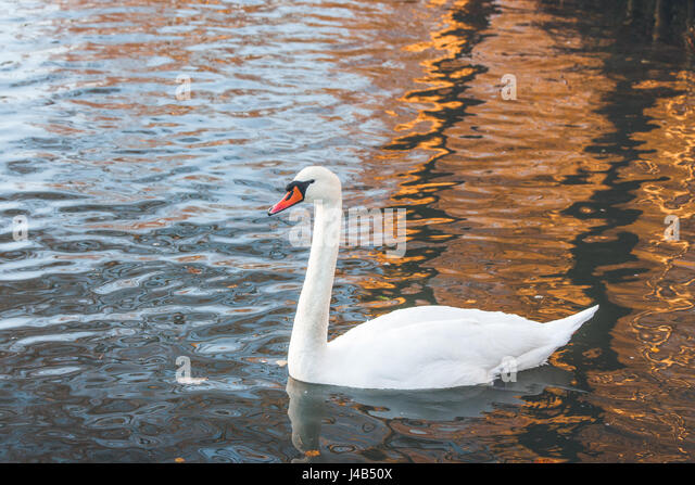 White swan swimming in a lake in the morning with reflections in the water of trees in the sunrise - Stock Image