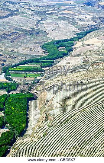 Aerial view of poplar tree plantation - Stock Image