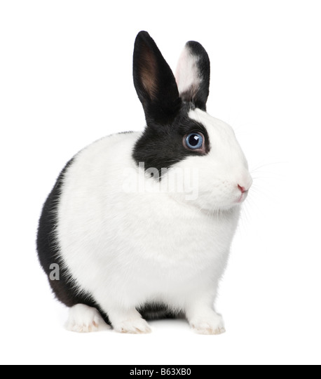Rabbit 11 months in front of a white background - Stock Image