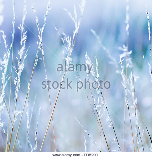 Long grass with a blue tone . - Stock Image