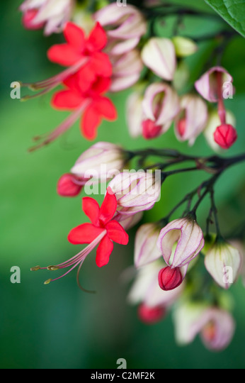 Clerodendrum x speciosum. Java Glory Vine. Red bleeding heart vine in flower - Stock Image