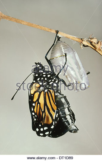 Mexico Monarch butterfly chrysalis shell Danaus plexippus - Stock Image